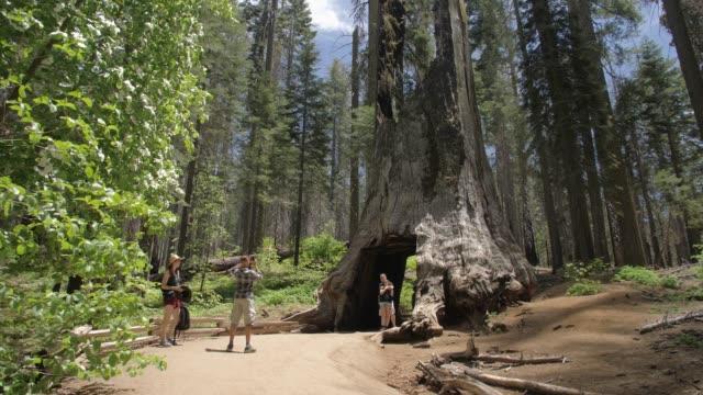 vidéos et rushes de tourists walking down the big oak flat road at tuolumne grove and giant sequoias, yosemite valley, unesco world heritage site, california - séquoia géant
