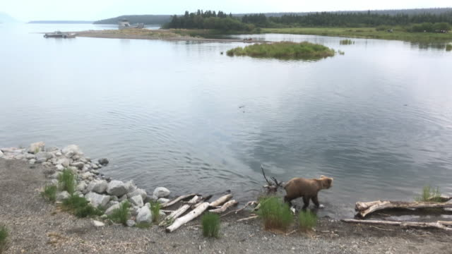 tourists watching brown bear in alaska - animals in the wild stock videos & royalty-free footage