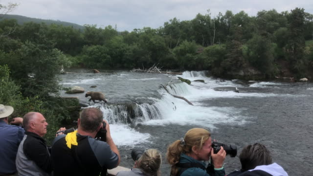 tourists watching brown bears catching fish in alaska - animals in the wild stock videos & royalty-free footage