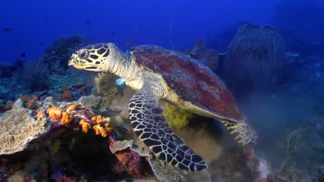 vídeos de stock e filmes b-roll de tourtle eating an orange soft coral - coral macio