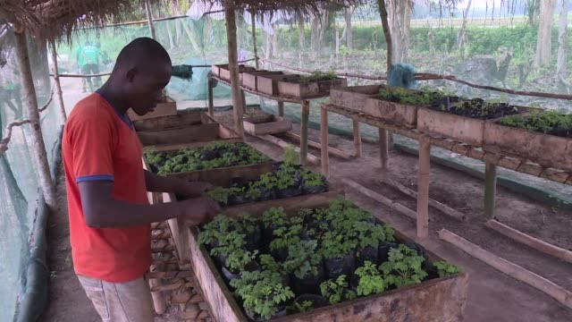 touted by its supporters as a miracle solution to malaria in africa the use of varieties of the artemisia plant widely grown in ivory coast is a... - microscopic animal stock videos and b-roll footage