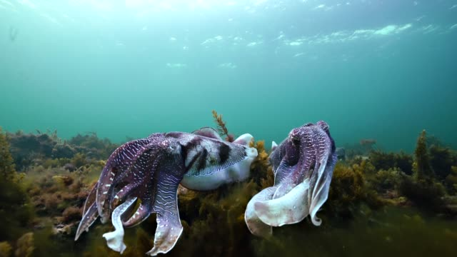 tow male giant cuttlefish posturing for dominance with one showing pulsing changes in skin coloration. - cuttlefish stock videos & royalty-free footage