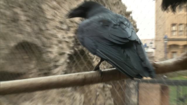 london tower of london ext ravens in cage / beefeater into raven enclosure / ravens flapping / closeup raven's feet / christopher skaife interview sot - raven stock videos and b-roll footage