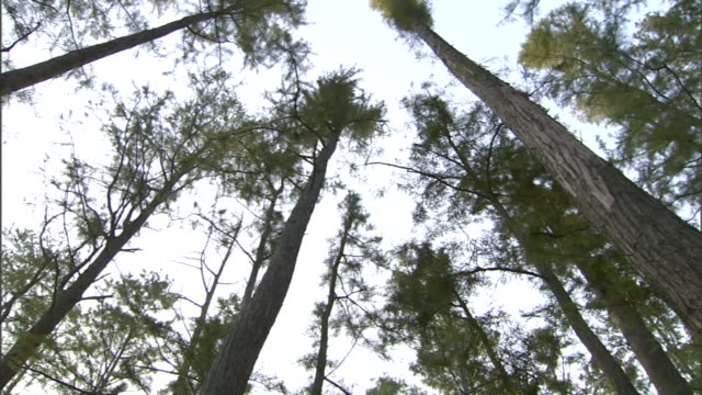 towering trees spin below a white sky in florida. - treetop stock videos & royalty-free footage