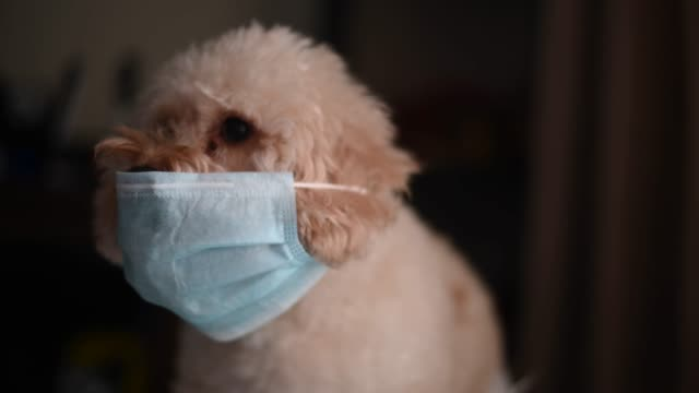 toy poodle indoor portrait with surgical mask covering mouth - surgical mask stock videos & royalty-free footage