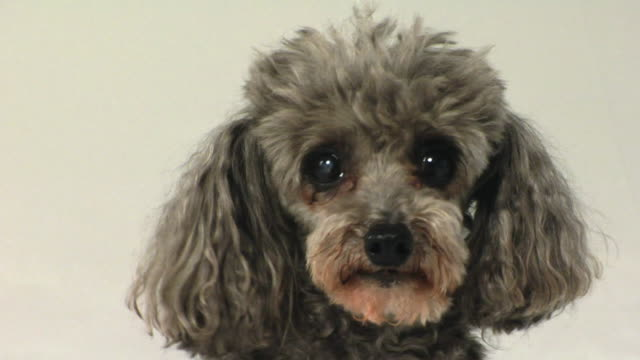 SM CU Toy Poodle looking around, then becomes frightened / Boston, Massachusetts, USA