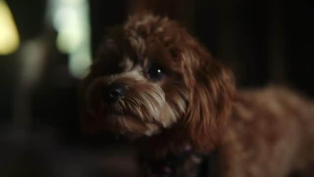 vídeos de stock e filmes b-roll de toy poodle reacting to owner - cão miniatura
