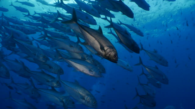 tracing a school of trevally jack fish undersea, darwin island - fish stock videos & royalty-free footage