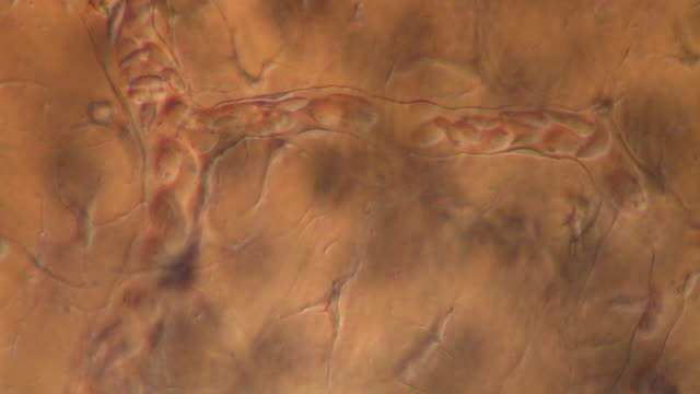 track across network of capillaries in tail of toad tadpole. - capillary body part stock videos & royalty-free footage