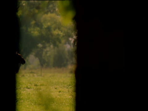track across silhouetted trees as four jockeys race horses in forest clearing, south africa - galoppieren stock-videos und b-roll-filmmaterial