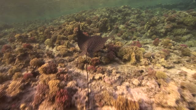 track after spotted eagle ray (aetobatus narinari). coral reef. red sea - eagle ray stock videos and b-roll footage