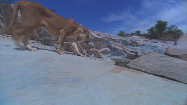 vidéos et rushes de cu track alongside african lioness walking across rocky outcrop - outcrop