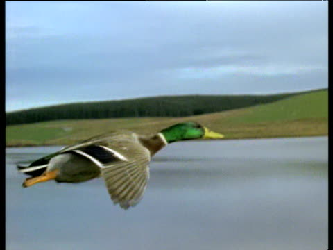 track alongside mallard drake as it flies with lake in background, uk - mallard stock videos and b-roll footage