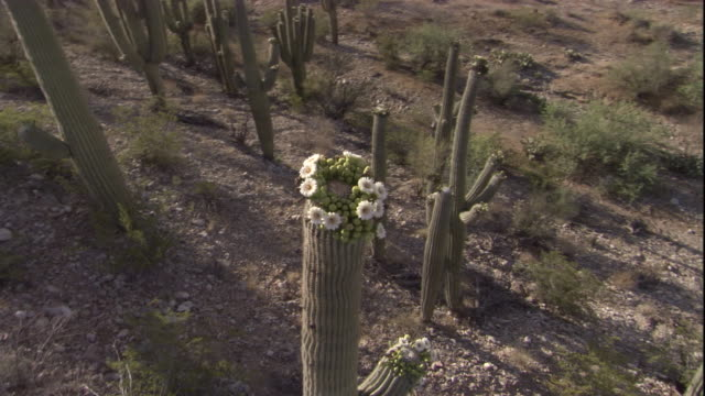 Track around a flowering Saguaro Cactus in the Sonoran Desert. Available in HD.