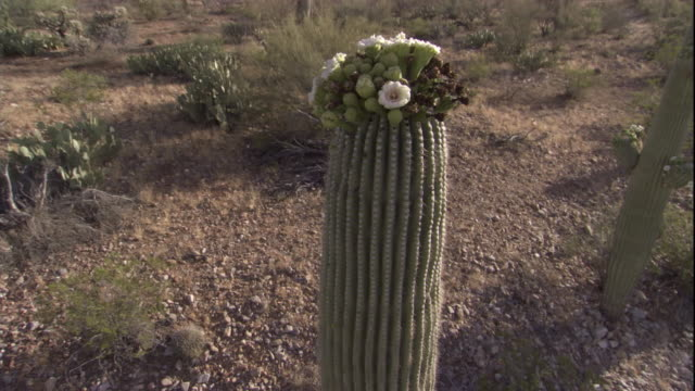 track around a flowering saguaro cactus in the sonoran desert. available in hd. - cactus stock videos & royalty-free footage