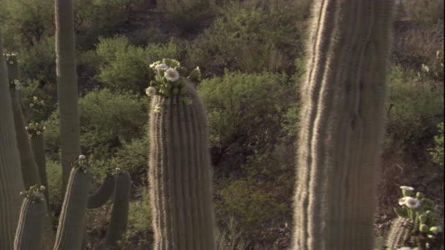 vídeos y material grabado en eventos de stock de track around a flowering saguaro cactus in the sonoran desert. available in hd. - cactus saguaro