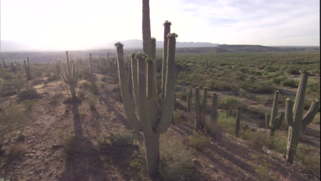 vídeos de stock e filmes b-roll de track around a saguaro cactus in the sonoran desert. available in hd. - cato