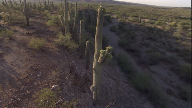 Track around a tall Saguaro cactus in the Sonoran Desert. Available in HD.