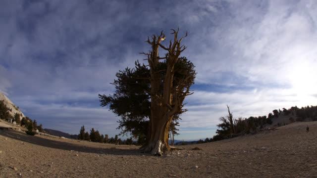 tl track around ancient bristlecone pine tree, california - durability stock videos & royalty-free footage
