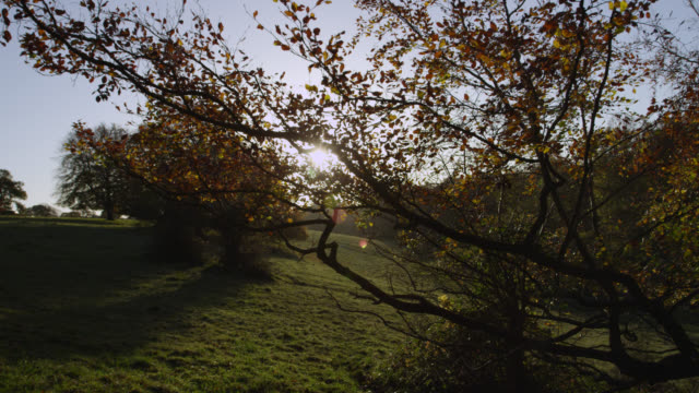 track around beech tree (fagus sylvatica) in autumn sunshine, gloucestershire, england - beech tree stock videos and b-roll footage