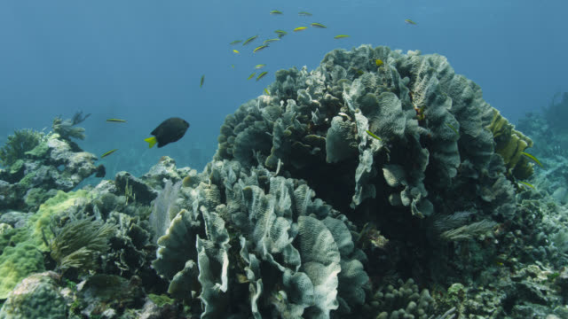track around coral on reef, belize - wrasse stock videos & royalty-free footage