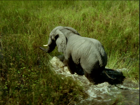 track around elephant wading through water logged tall grass, africa - camminare nell'acqua video stock e b–roll