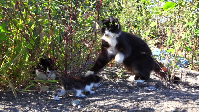 stockvideo's en b-roll-footage met track around feral domestic cat play fighting with kitten - kleine groep dieren
