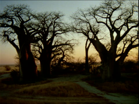 Track around group of baobab trees.
