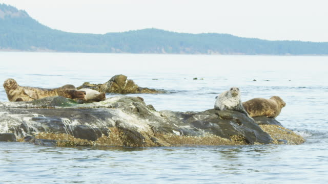 track around group of harbour seals resting on rock and one slides into water - fels stock-videos und b-roll-filmmaterial