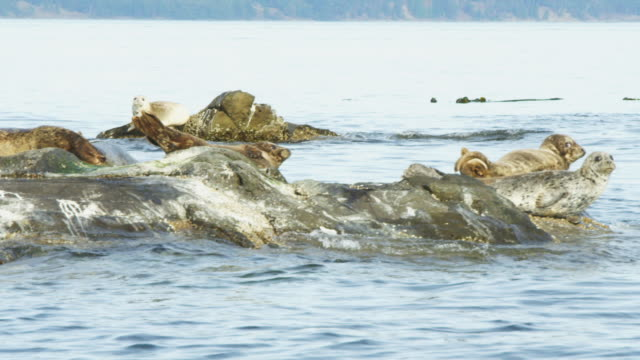 track around group of harbour seals resting on rock - harbour seal stock videos & royalty-free footage