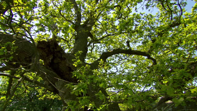 track around oak tree (quercus) branches, dorset, england - oak tree stock videos and b-roll footage