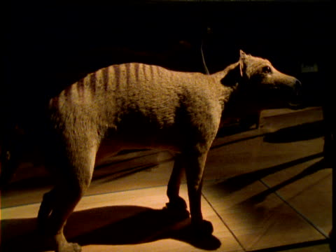 track around stuffed thylacine in museum, australia - museum stock videos & royalty-free footage