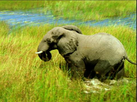 Track around wet elephant wading through flooded grassy plain