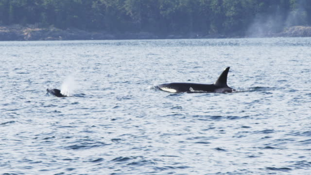 MS track as 2 Orcas surface and breathe in profile with wooded coastline in background