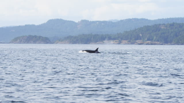 ws track as group of orcas surface and breathe in profile with wooded coastline in background  - cetacea bildbanksvideor och videomaterial från bakom kulisserna
