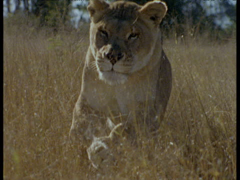 Track as lioness runs towards camera over African savanna.