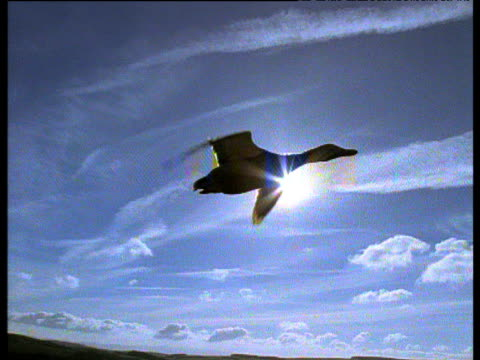 track as mallard duck flies silhouetted against blue sky, sunburst behind, uk - duck stock videos and b-roll footage