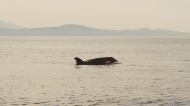 vídeos y material grabado en eventos de stock de ms track as orca surfaces and breathes in profile with coastline in distant background  - aleta parte del cuerpo animal