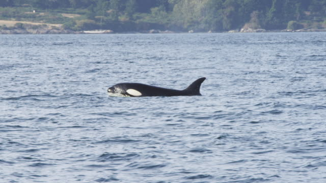 ms track as orca surfaces and breathes in profile with wooded coastline in background  - cetaceo video stock e b–roll