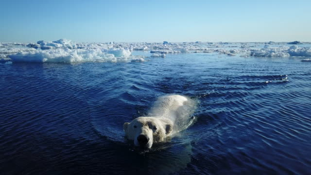 ms track back with polar bear swimming towards camera - living organism stock videos & royalty-free footage