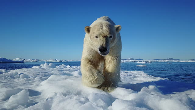 vidéos et rushes de track back with polar bear walking to camera then jumping into sea - one animal