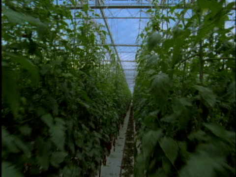 Track backwards and tilt down from greenhouse roof to tomato crop Spain