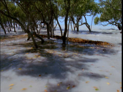 Track backwards as tide comes in between mangrove trees, Broome, Western Australia