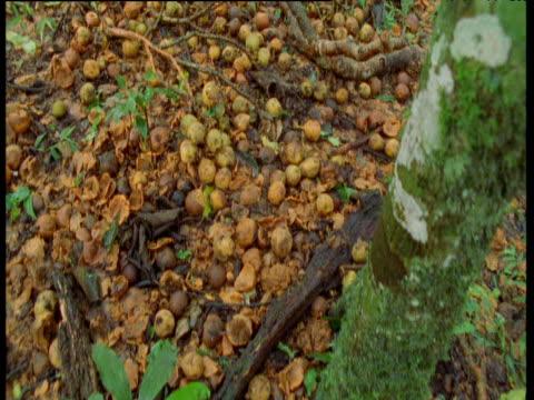 Track backwards over forest floor covered in fallen fruit