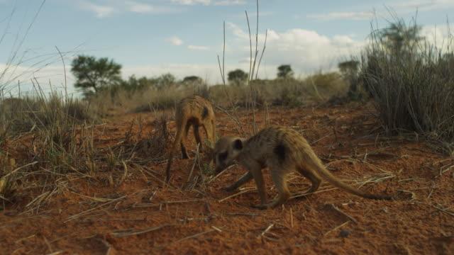 track behind 2 meerkats foraging in desert - foraging stock videos & royalty-free footage