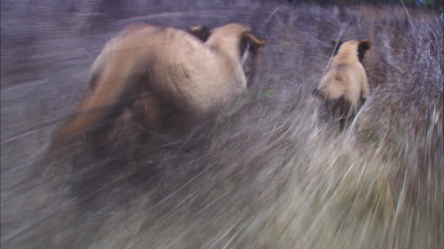 track behind 2 very young african lion cubs running through long grass - due animali video stock e b–roll