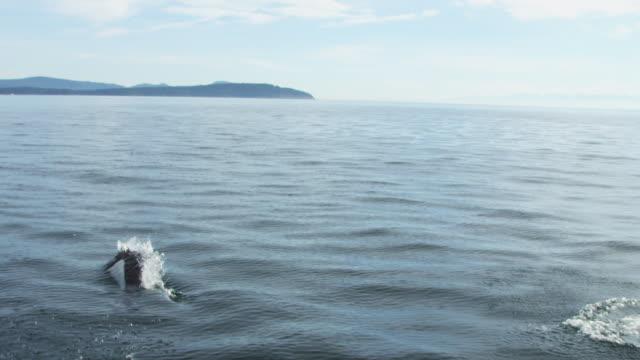 track behind 3 dalls porpoise breaching with coastline in distance - ネズミイルカ点の映像素材/bロール