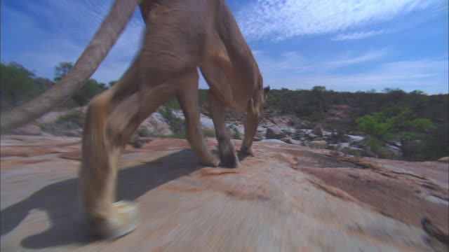 cu track behind african lioness walking across rocky outcrop - outcrop stock videos & royalty-free footage
