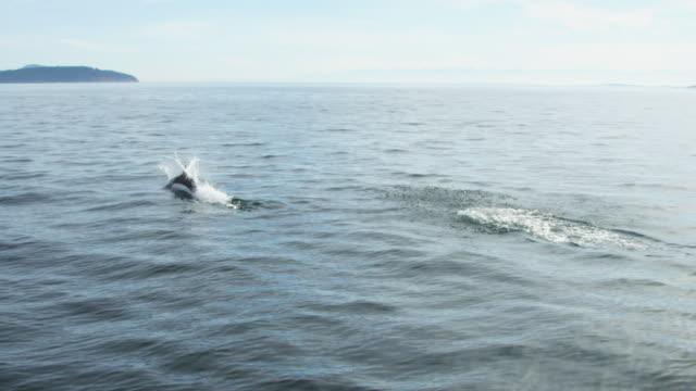 track behind dalls porpoise breaching with coastline in distance - ネズミイルカ点の映像素材/bロール