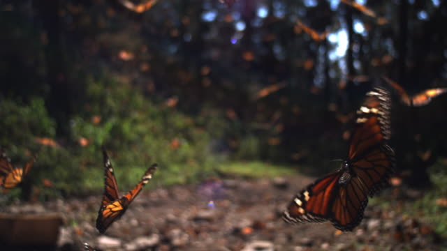 slomo track behind group of monarch butterflies flying over forest floor - migrazione animale video stock e b–roll